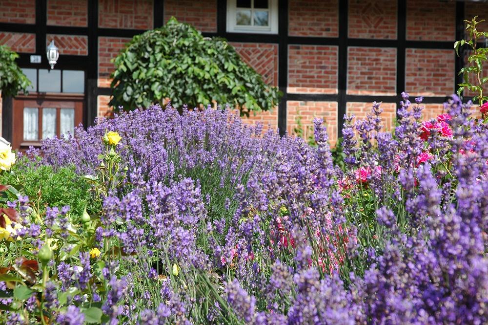 Lavendel im Pflanzenfeld